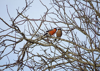 Bullfinch - Male & Female.jpg