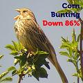 Corn Bunting 86.jpg