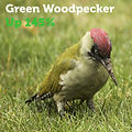 Green Woodpecker 145.jpg