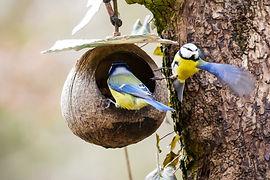 blue tits pixabay free.jpg