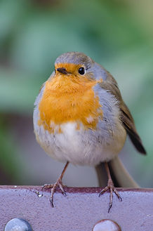 robin-1056334-looks-like-ruby-robin.jpg
