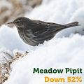Meadow Pipit 52.jpg