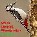 Great Spotted Woodpecker 387.jpg