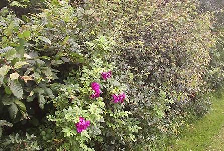 natural hedge dog rose Jasmine House.png