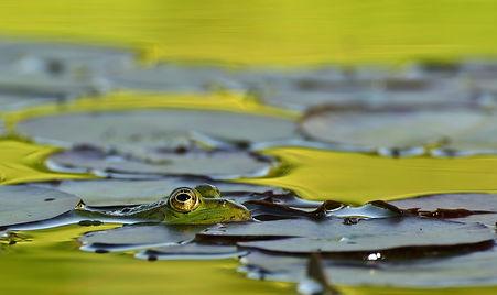 frog-2175515.jpg