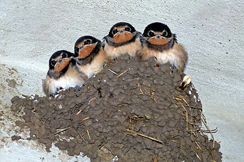 swallows-176140.jpg