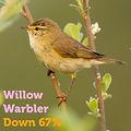 Willow Warbler 67.jpg
