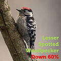 lesser spotted woodpecker 60.jpg