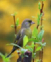 greenfinch-1386079.jpg