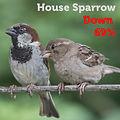 house sparrow 69.jpg