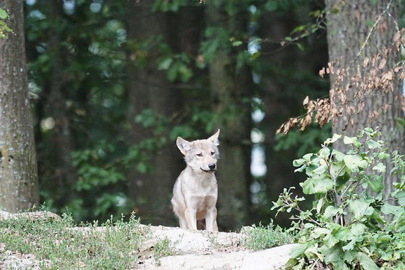Webinar - Program dla dzieci promujący ochronę wilków z imiennym certyfikatem