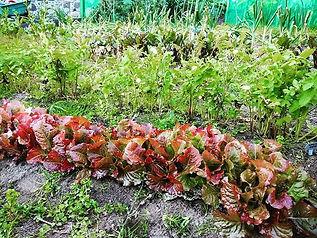 Home grown organic Korean lettuces _#org