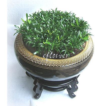 羅漢松小森林盆栽