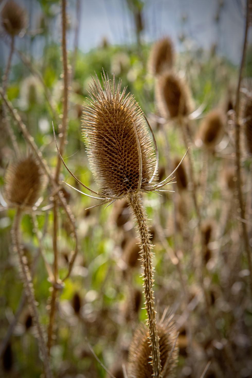 Cats-Tail-Flower-001.jpg