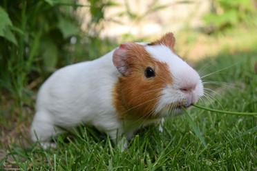 guinea-pig-2412069_1920.jpg