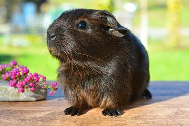 guinea-pig-518266_1920.jpg