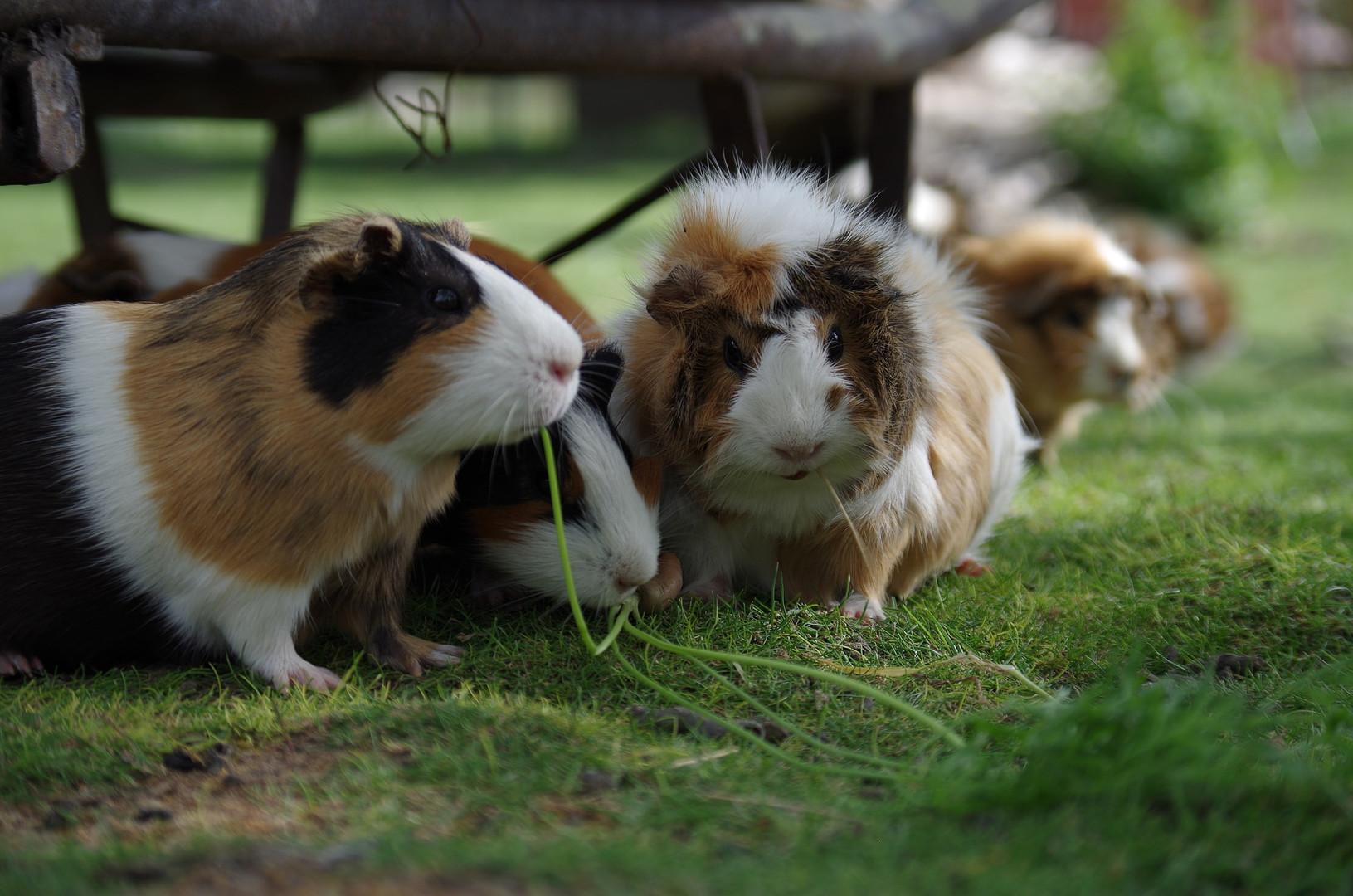 guinea-pig-2513178_1920.jpg