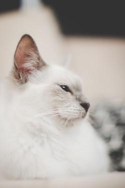 Bonnie - Ragdoll  - Crazy Cat - JOSIOUX