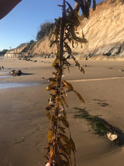 Kelp Santa Barbara .jpg