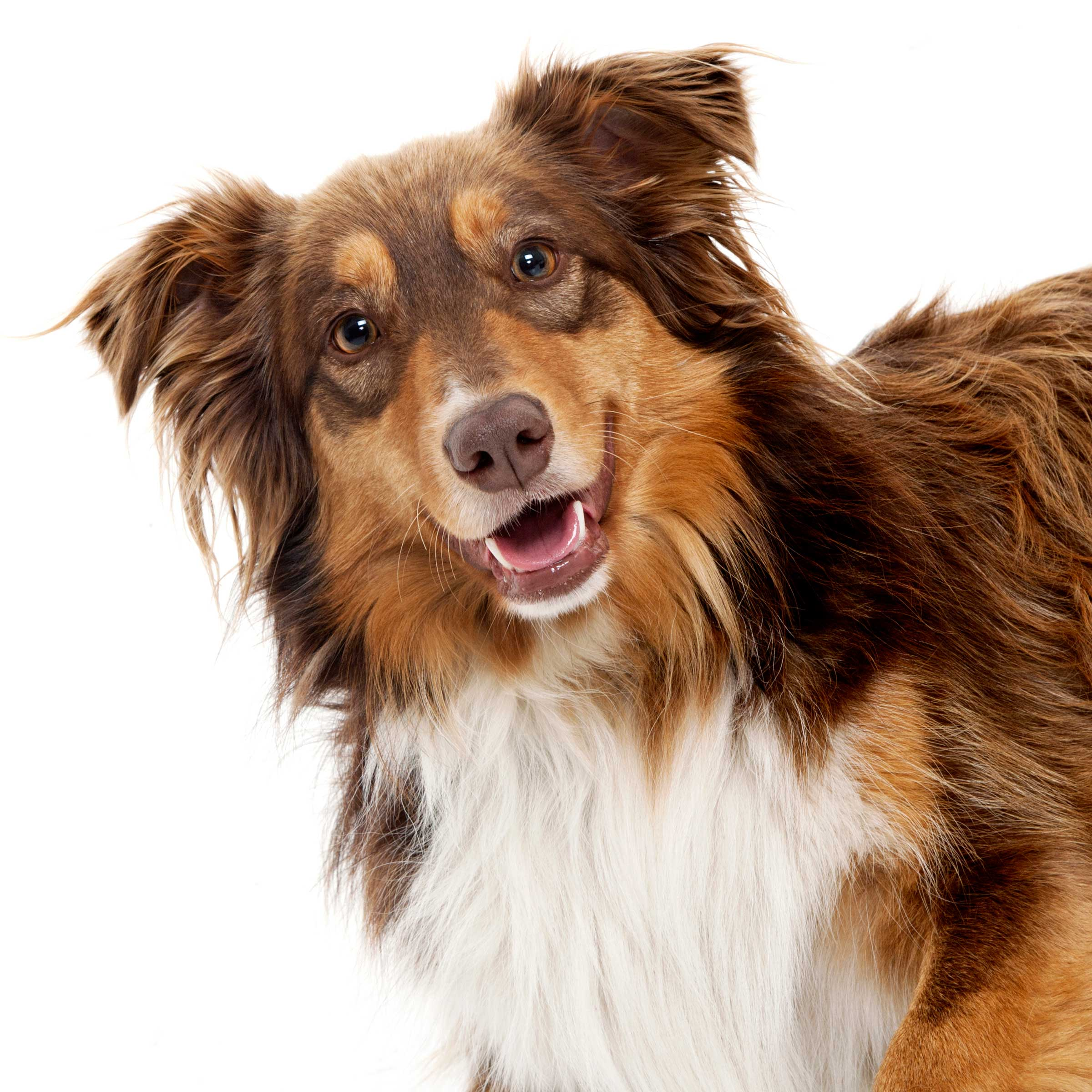 06-Pets-Dog-Brown-Collie-Philip-Murray-Photography-Dublin