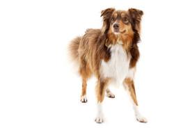 09-Pets-Dog-Brown-Alert-Philip-Murray-Photography-Dublin