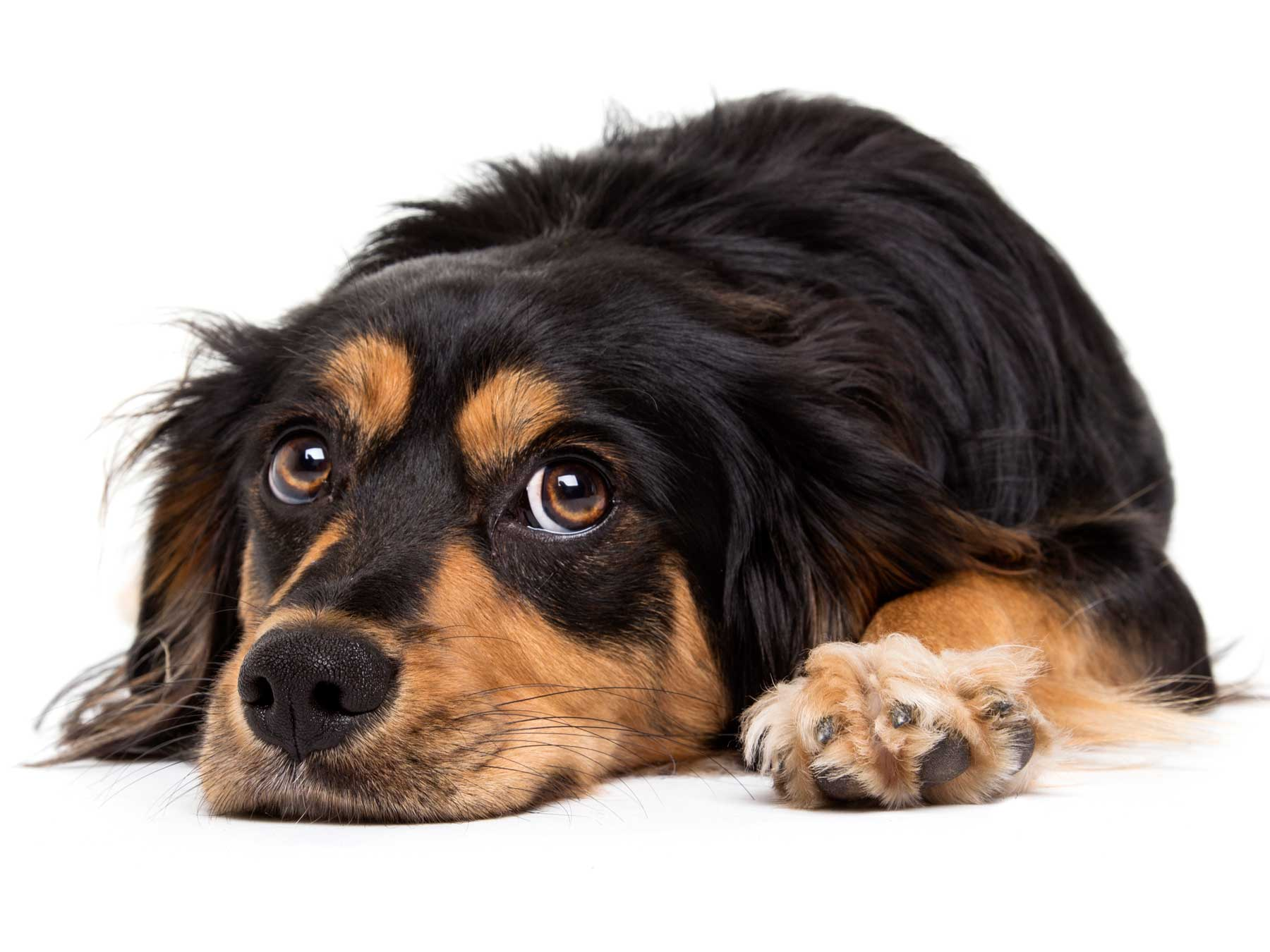 15-Pets-Dog-Brown-Black-Tired-Philip-Murray-Photography-Dublin