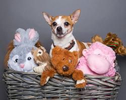 Dog-Jack-Russel-Colour-Pet-Teddy-Basket-Philip-Murray-Photography-Dublin