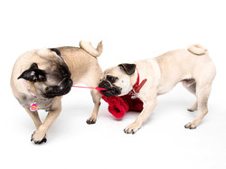 16-Pets-Dog-Pugs-Red-Sock-Pulling-Philip-Murray-Photography-Dublin