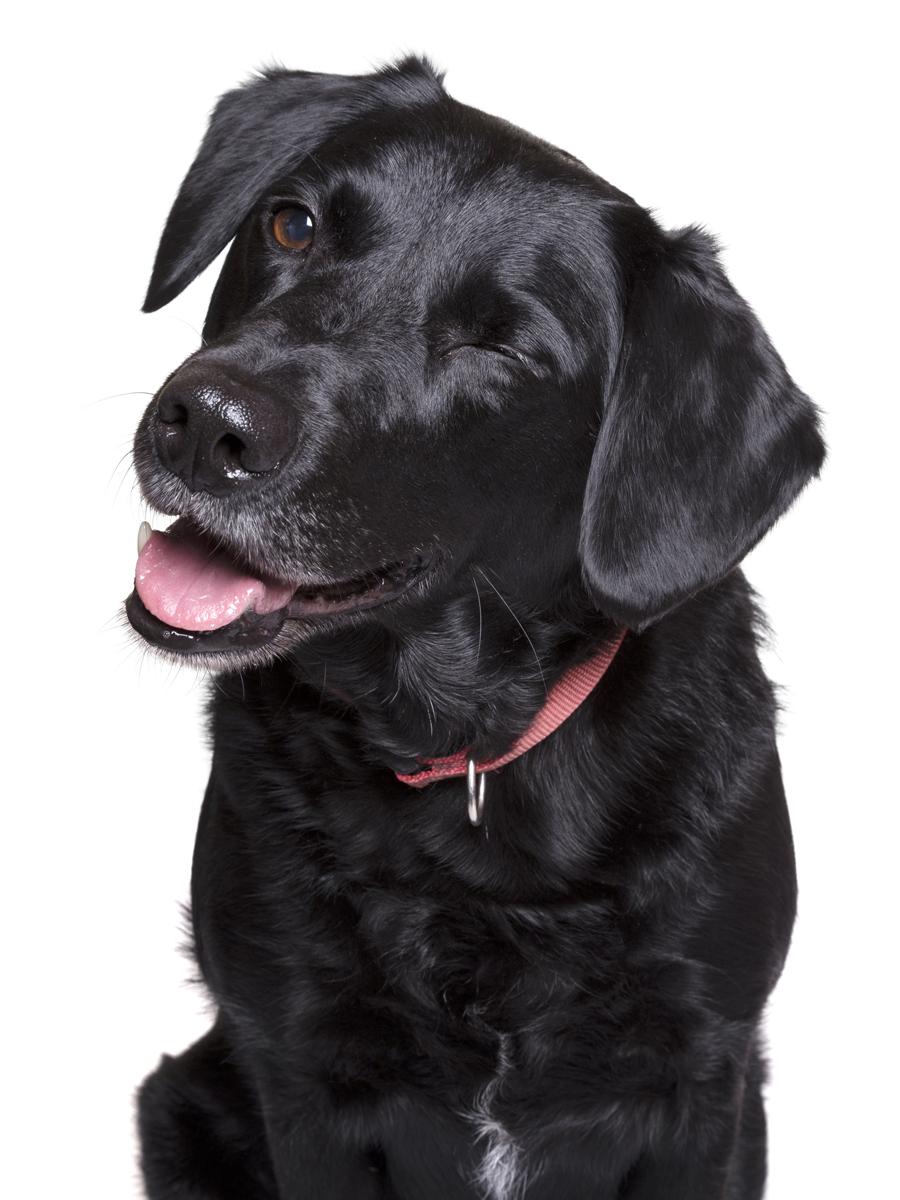 Pets-Dog-Black-Lab-Wink-Philip-Murray-Photography-Dublin