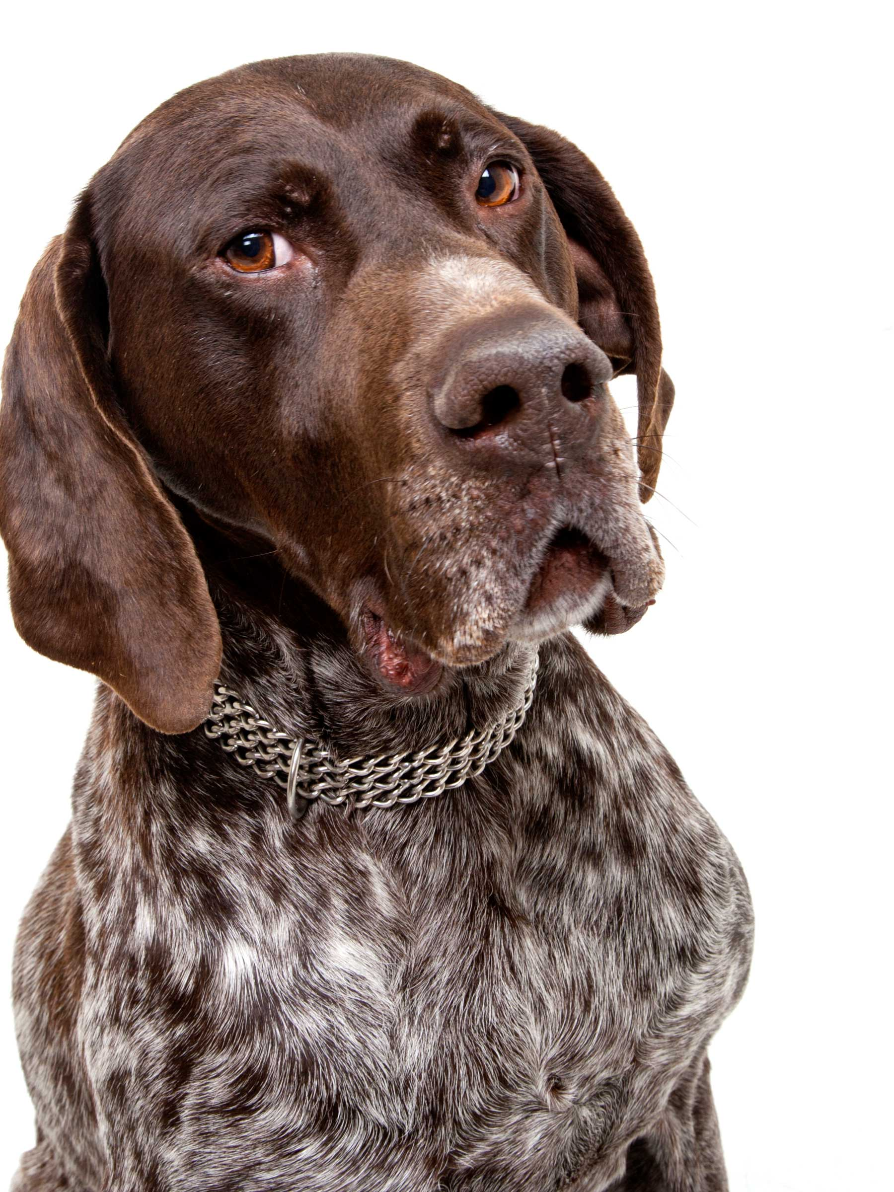 05-Pets-Dog-Brown-Serious-Philip-Murray-Photography-Dublin