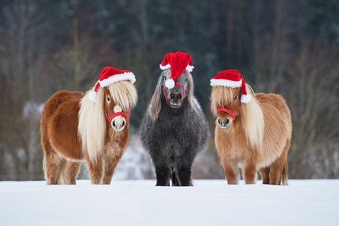 Three funny miniature shetland breed pon
