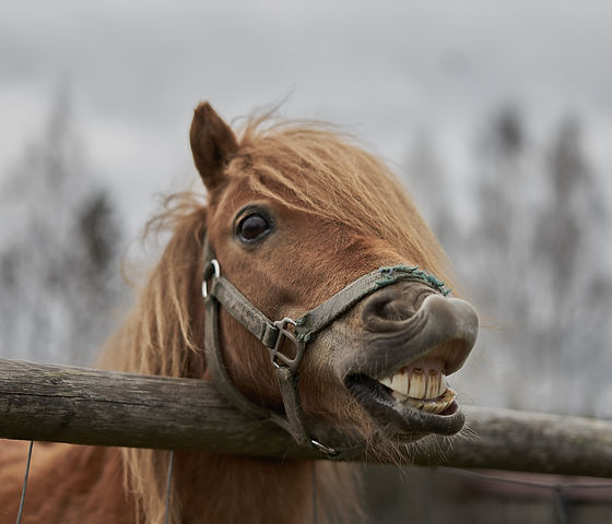 Little horse at small latvian zoo. Horse smile. Horse showing teeth, smiling horse, funny