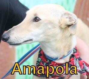 Amapola.JPG