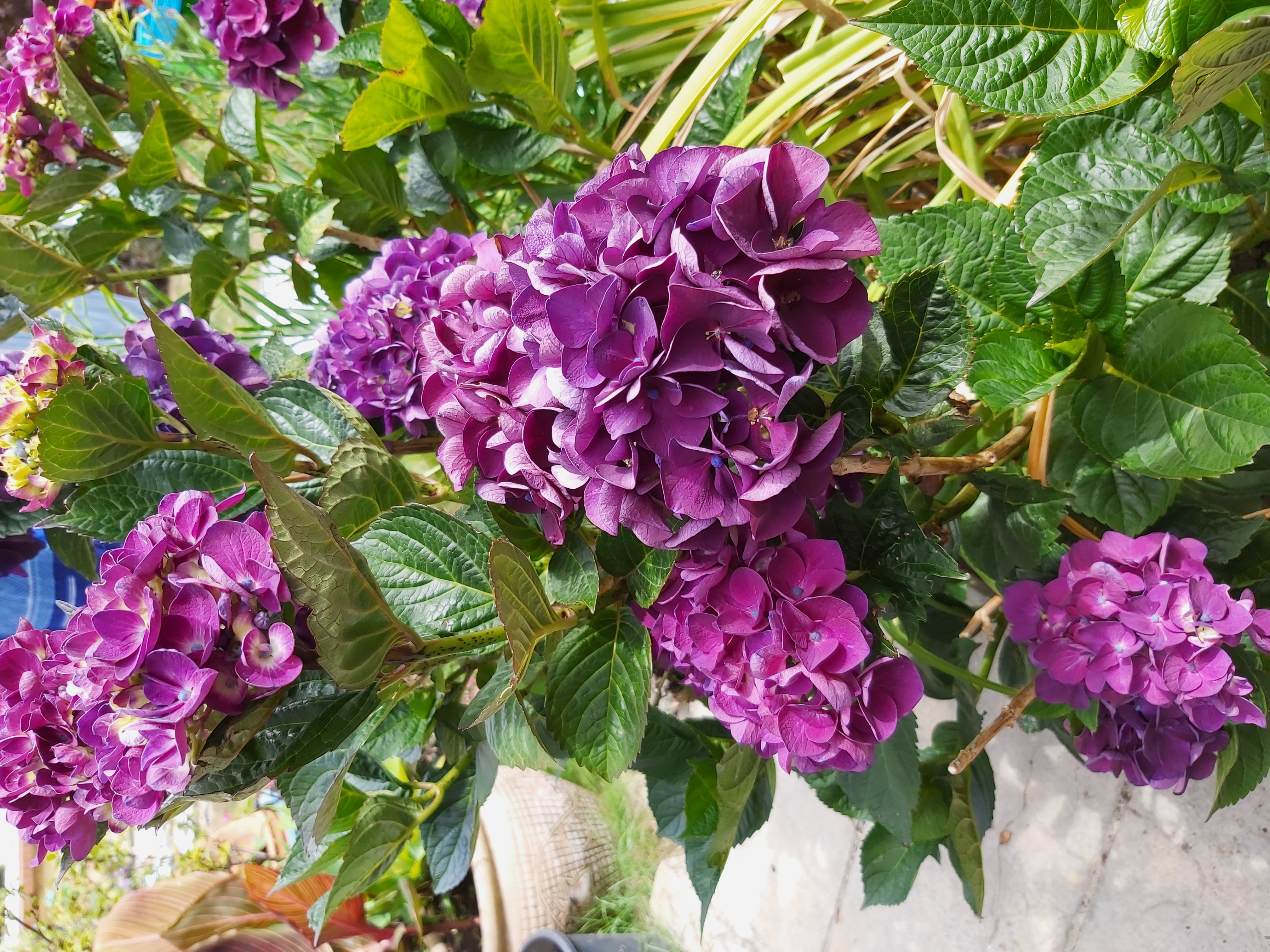 "Richard Ashwell - Hydrangea ""Merveille Sanguine"""