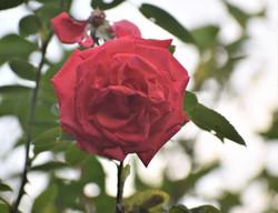 Hazel Goddard - Rose