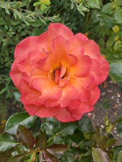 "Richard Ashwell - Rose ""Halle"""