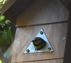 Phil Goddard - Great Tit leaving nest