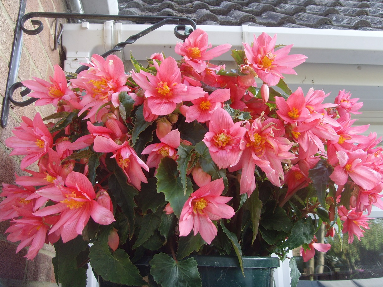 Jean Pearce -Begonia 'Funky Pink'