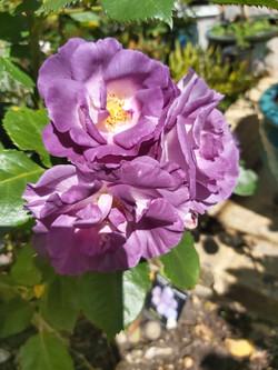 "Richard Ashwell - Rose ""Blue For You"""