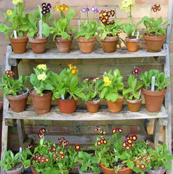 Jean Pearce -Auricula Stand