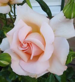 Jean Pearce - Chandos Beauty Rose