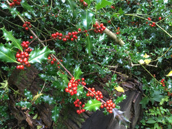 Gorgeous holly berries