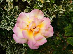 Rayner Mayer - Peace Rose