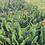 Thumbnail: Mason Jar Tulip Bouquet- DELIVERY
