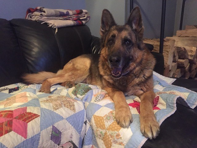 Retired K9 Odin relaxing and enjoying his retirement.