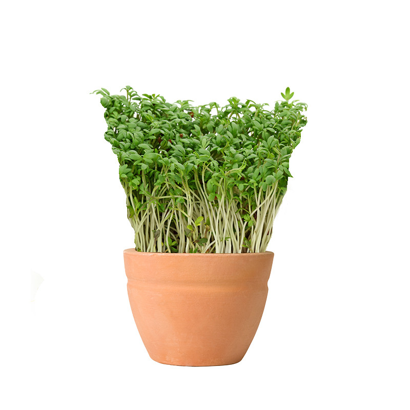 Watercress summer plant
