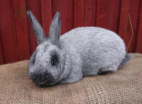 Myydään suurihopea kani lemmikiksi.