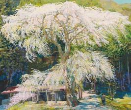 Sacred tree  春の御神木