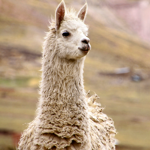 about_alpaca.png