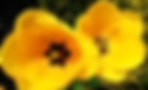 Norman Whaler Gallery Yellow Tulip normanwhaler.com